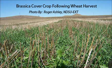Brassica Cover Crop Following Wheat Harvest