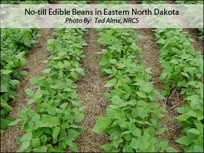 No-till Edible Beans in Eastern North Dakota