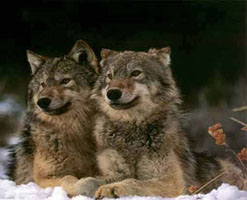 Image of wolves to illustrate Cherokee story