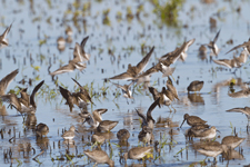 Short-billed Dowitchers feeding in land enrolled into the Migratory Bird Habitat Initiative (MBHI) in Abbeville, Louisiana.