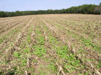 Tillage radish cover reduces soil compaction and increases infiltration