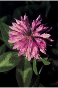 red clover, often used as cover crop