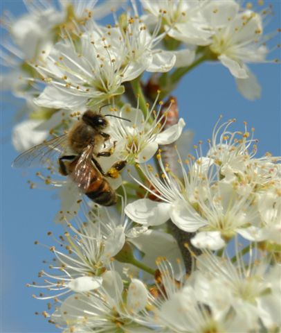 honey bee on beach plum flower
