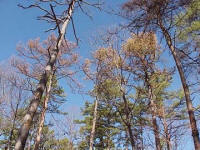 trees impacted by Southern Pine Beetle - US Forestry photo
