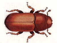 illustration of southern pine beetle - US Forestry