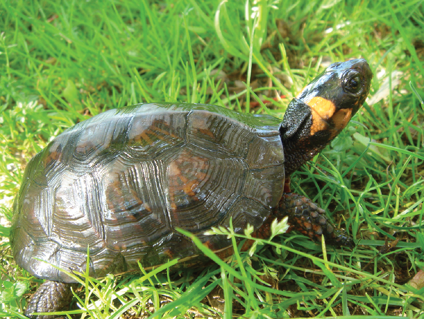 bog turtle Identification bog turtles are one of the smallest and most secretive of north american turtles, measuring up to 4 inches as adults the bog turtle is dark brown with a distinct orange patch on either side of the head.