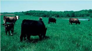 Photo of cows grazing in a field