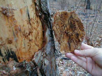 damage from Southern pine beetle - US Forest Service photo