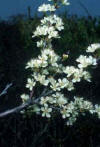 beach plum flowers