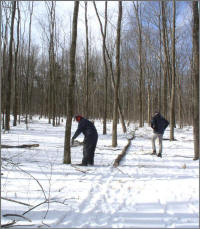 tree cutting in wintry forest
