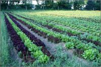 field of lettuce