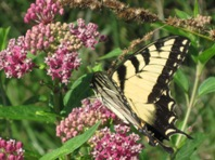Photo of Eastern Tiger Swallowtail on Joe-Pye Weed