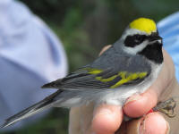 golden-winged warbler after banding
