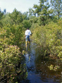 Flooded blueberry plants begin to give away to native plants.