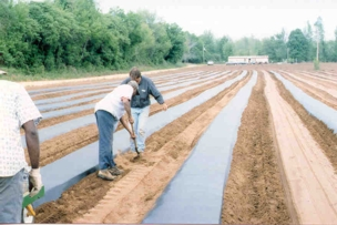 Putting down rows of plastic using