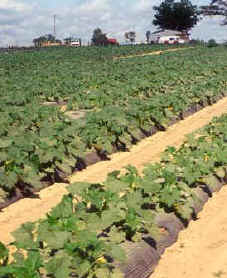 Squash planted in black plastic on Billy Gibbon's farm in Autauga County.