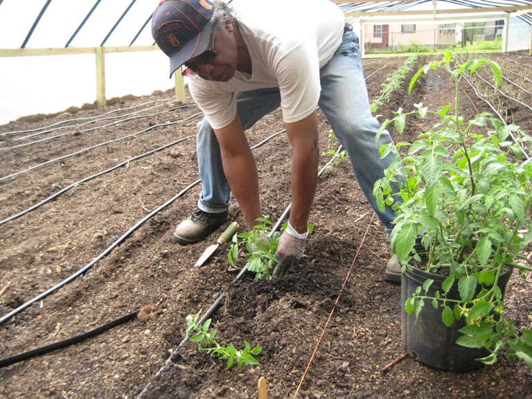 Planting tomatoes in Hobson City community garden hoop house.