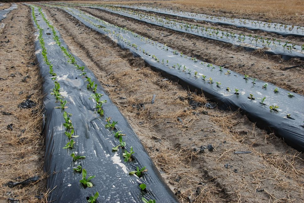 microirrigation under plastic is used on the Hooks farm.