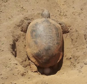 Gopher tortoise lays eggs in field.