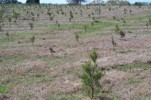 Pines planted 600 acre