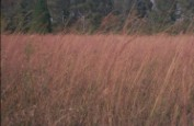 native grasses (645C)