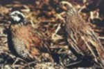 male and female quail