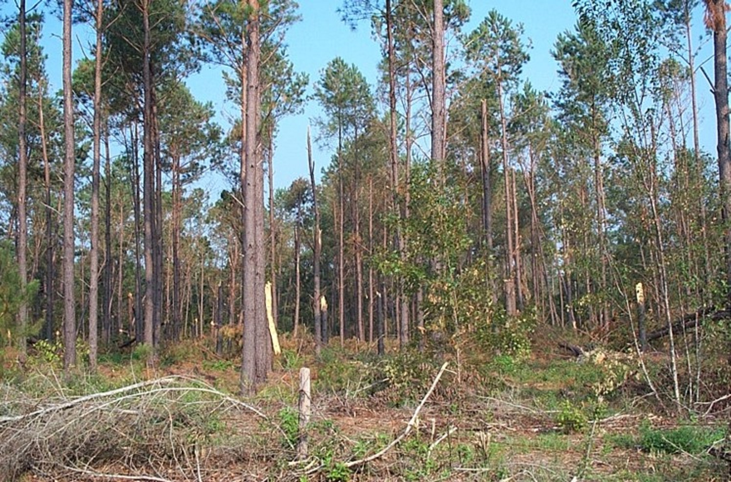 Forestry photo gallery nrcs alabama for Pine tree timber