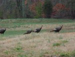 turkeys on farm