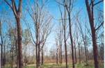 pic 3 - 26 year old walnut plantation in Marengo County