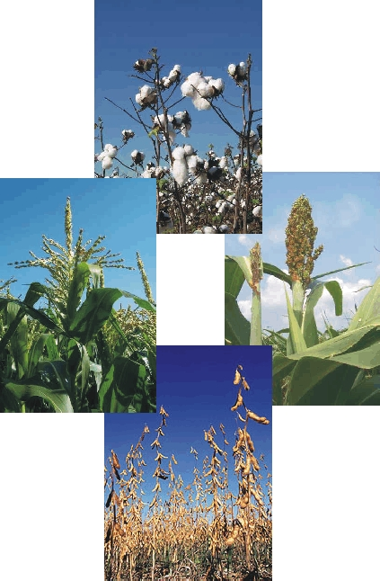 Collage of soybeans, sorghum, cotton, and corn