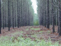pines in a row