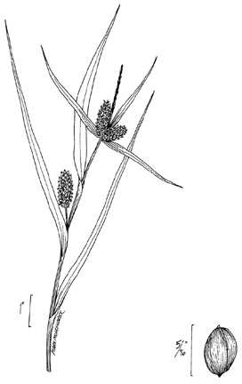 Pale Sedge