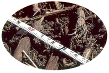 Photo of crop with measuring tape.