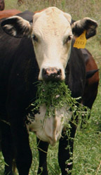 cow with mouth full of clover