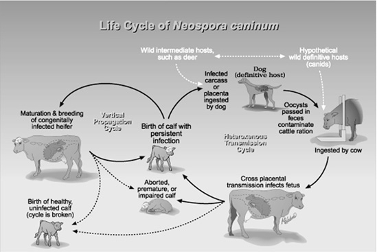 Graphic of life cycle of Neospora caninum