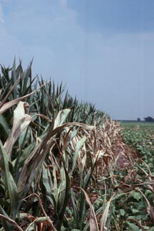 curled, wilted corn stalks suffer the drought