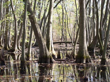 wetland with tupelo and baldcypress trees