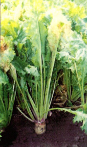 photo of forage turnip