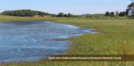 Egrets visit a shallow wetland located on farmland in Alexander County.