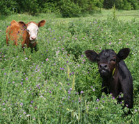 Young calves in tall forage