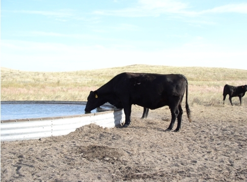 Cattle utilizing the watering facility installed through EQIP.