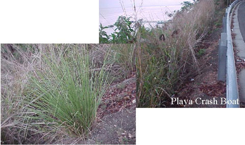 a photo of different plant species used in the Playa Crash Boat Project