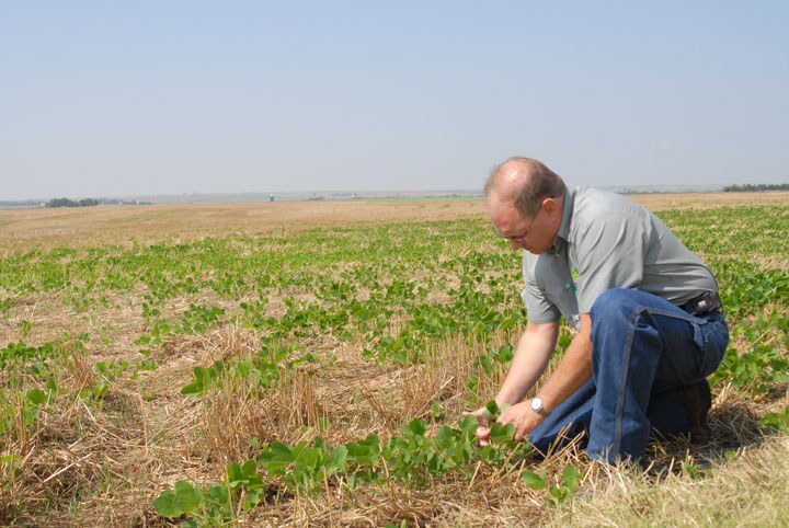 Bryan investigates the soybean plants emerging from the wheat stubble in their first no-till crop.