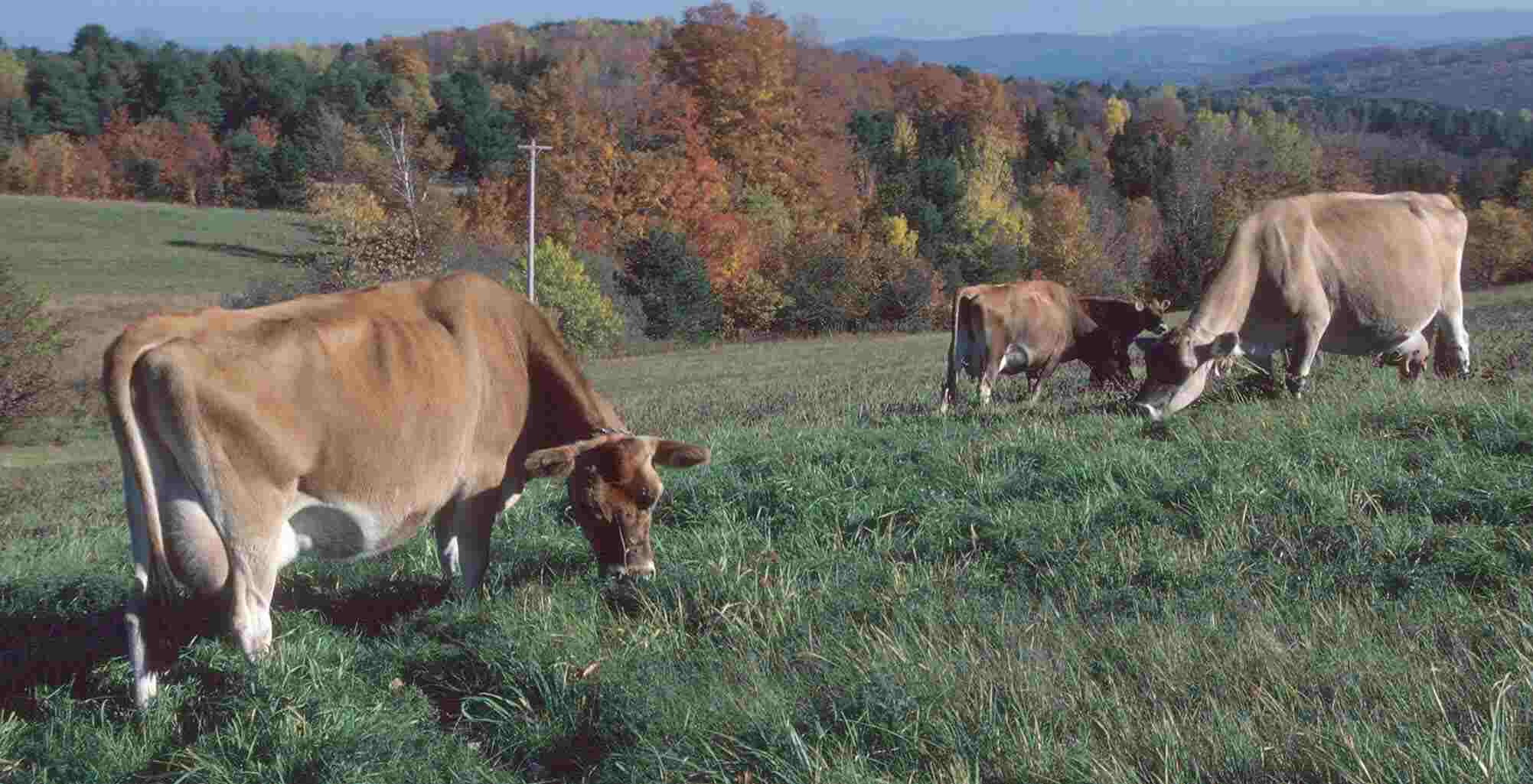Vermont Grazing Jerseys