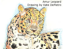 Amur Leopard drawing by Kate DePietro