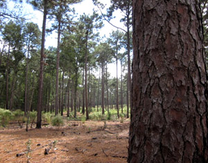 Longleaf pine trees in South Carolina
