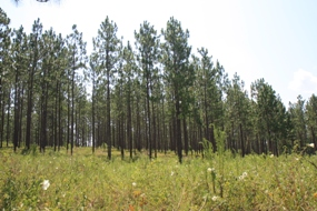 The NRCS is using the Longleaf Pine Initiative to restore and protect this crucial ecosystem.