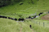 Cattle using stream crossing.
