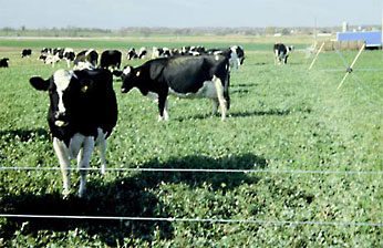 Photo of cows grazing on alfalfa field.