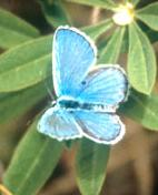 Photo of a Karnal Blue Butterfly.